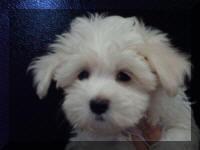 Thomas Kennel Maltese Poodles Shitzu Hybrids Non Shedding Breeds